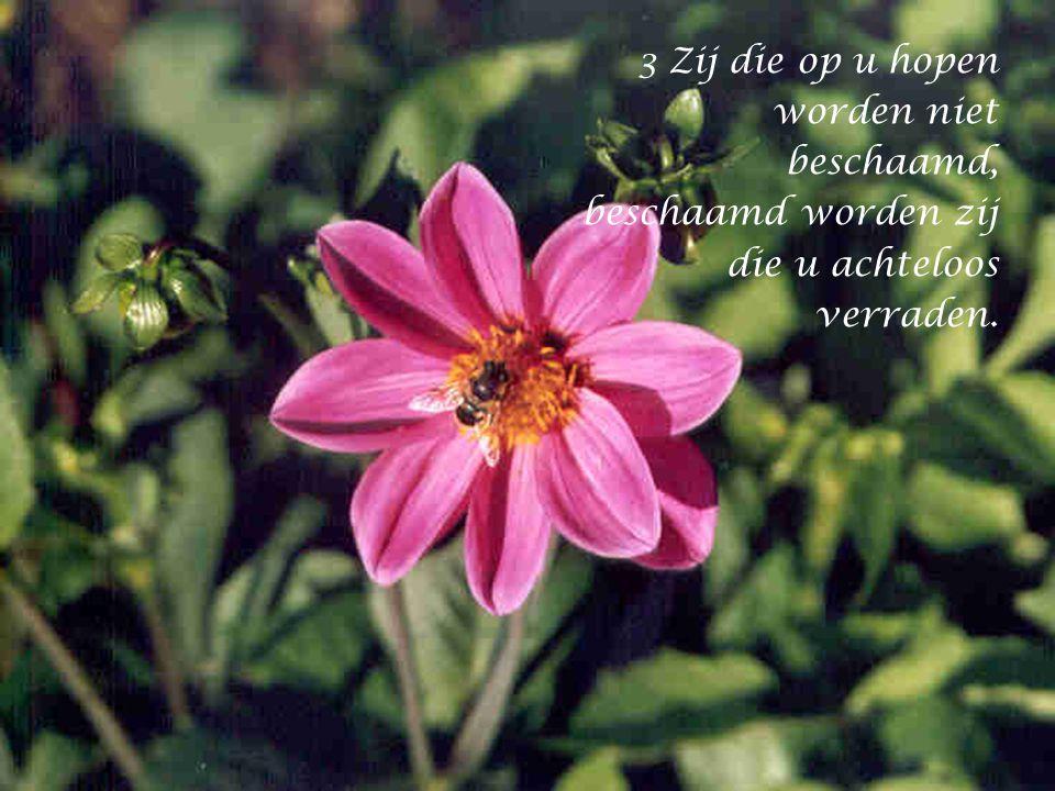 3 Zij die op u hopen worden niet beschaamd,