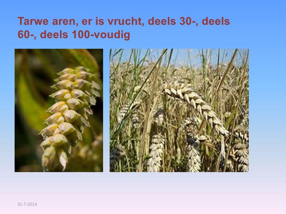 Tarwe aren, er is vrucht, deels 30-, deels 60-, deels 100-voudig