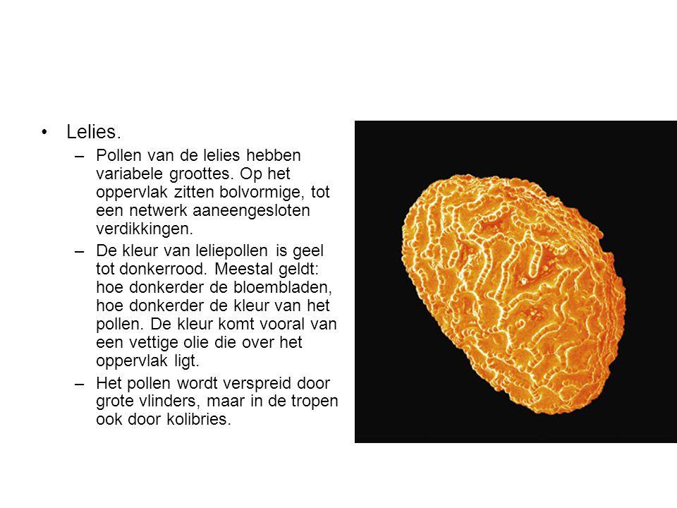 Lelies. Pollen van de lelies hebben variabele groottes. Op het oppervlak zitten bolvormige, tot een netwerk aaneengesloten verdikkingen.