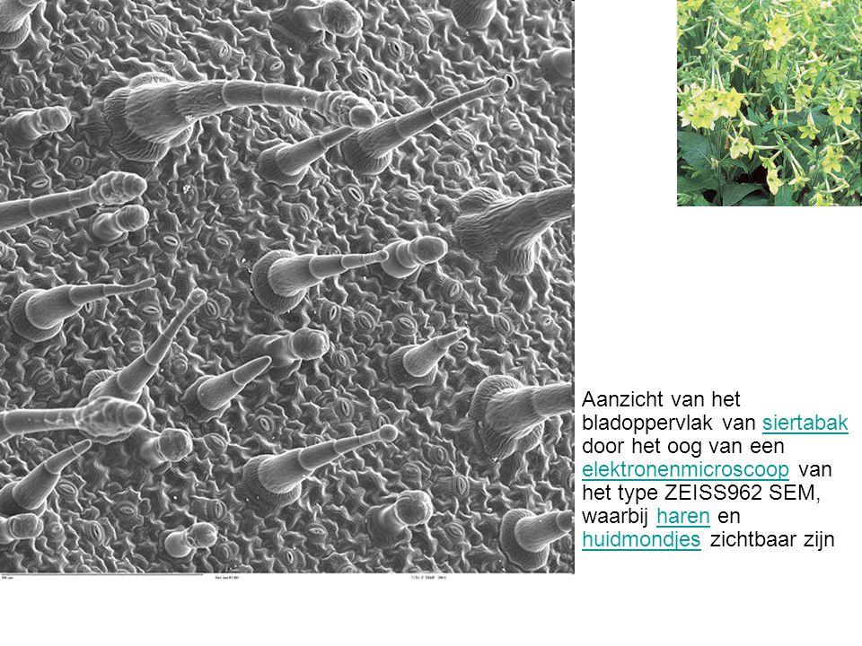 Aanzicht van het bladoppervlak van siertabak door het oog van een elektronenmicroscoop van het type ZEISS962 SEM, waarbij haren en huidmondjes zichtbaar zijn