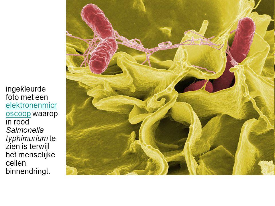 ingekleurde foto met een elektronenmicroscoop waarop in rood Salmonella typhimurium te zien is terwijl het menselijke cellen binnendringt.