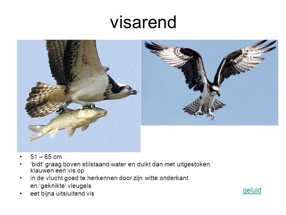 visarend 51 – 65 cm. 'bidt' graag boven stilstaand water en duikt dan met uitgestoken klauwen een vis op.