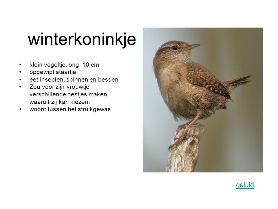 winterkoninkje geluid klein vogeltje, ong. 10 cm opgewipt staartje