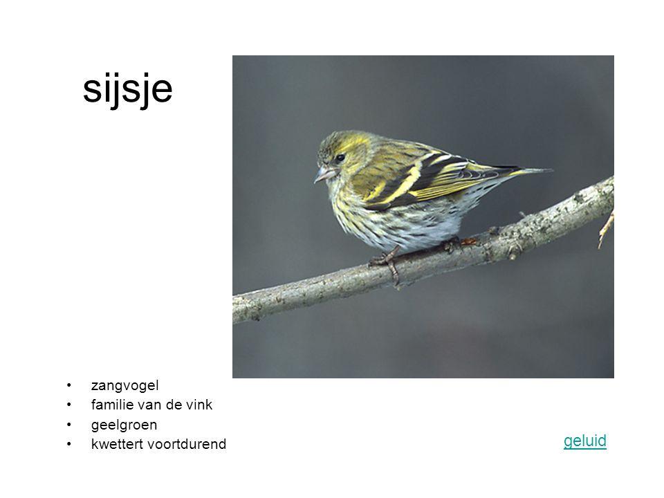 sijsje geluid zangvogel familie van de vink geelgroen