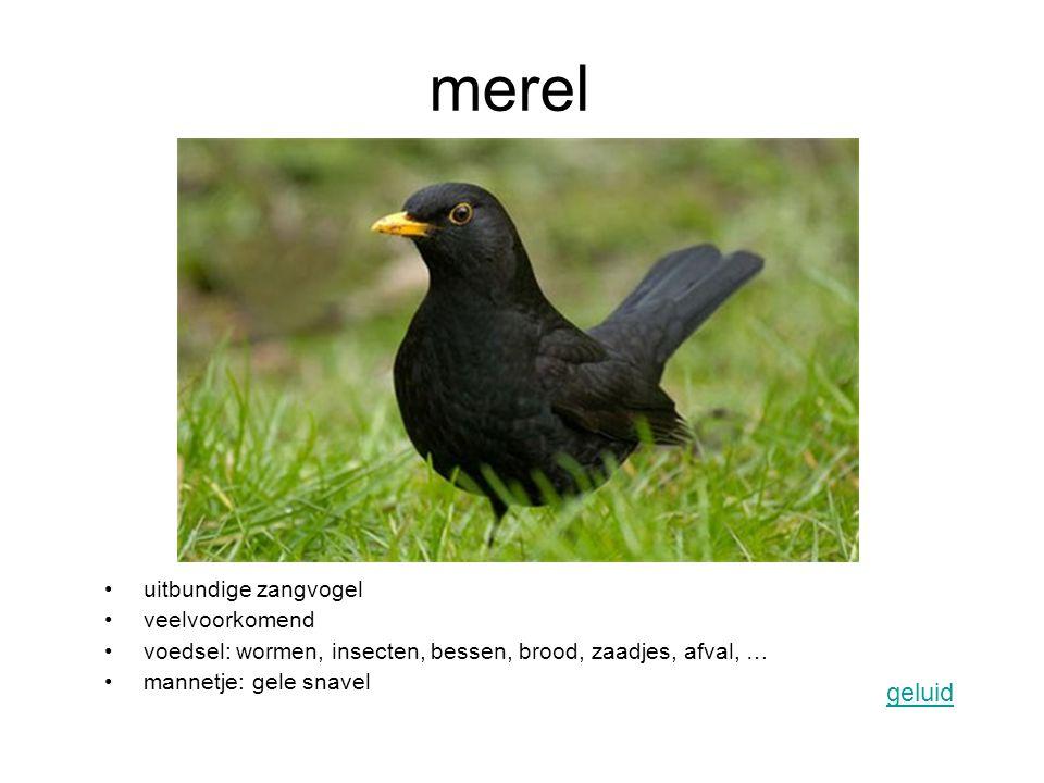 merel geluid uitbundige zangvogel veelvoorkomend