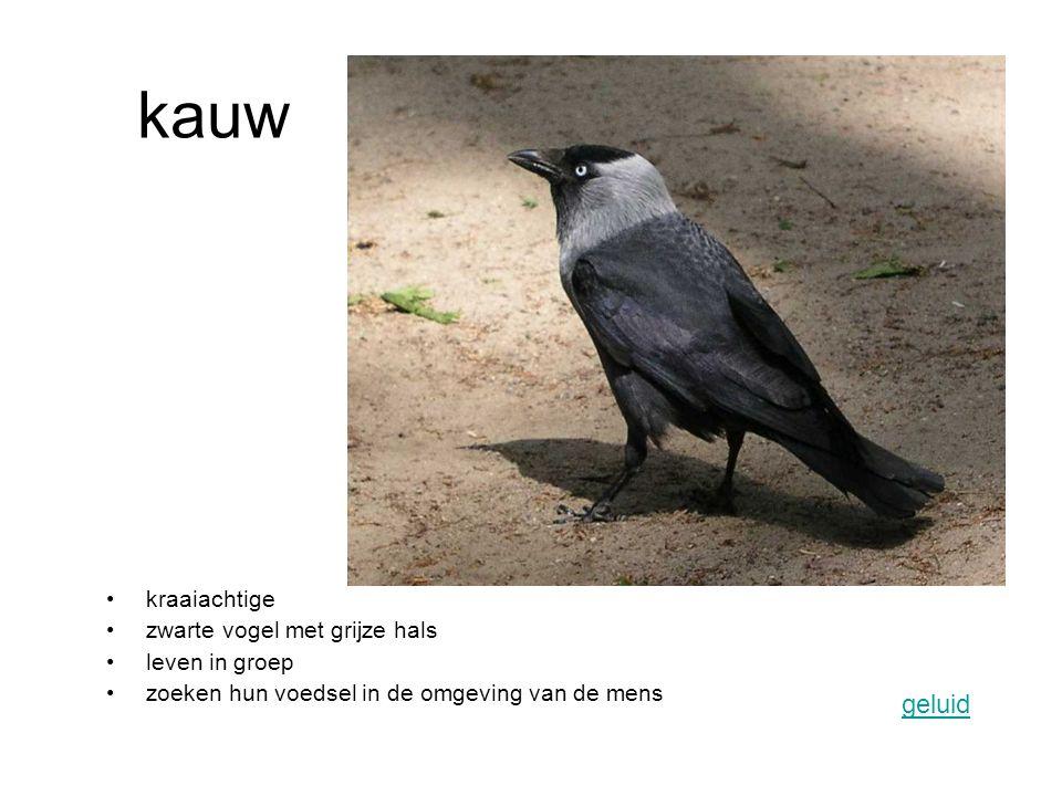 kauw geluid kraaiachtige zwarte vogel met grijze hals leven in groep