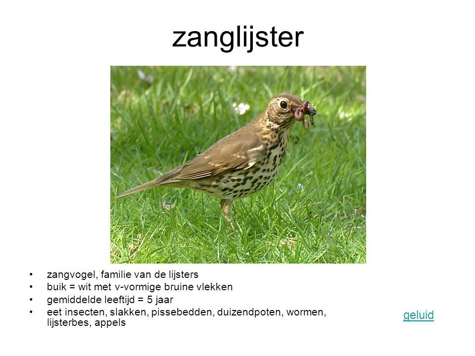 zanglijster geluid zangvogel, familie van de lijsters