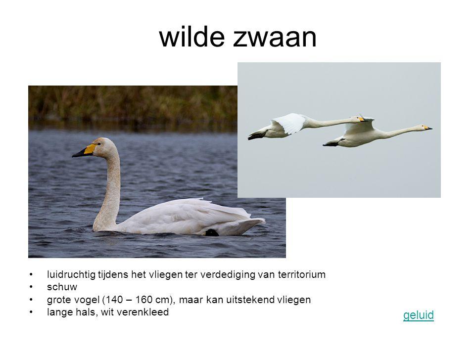 wilde zwaan luidruchtig tijdens het vliegen ter verdediging van territorium. schuw. grote vogel (140 – 160 cm), maar kan uitstekend vliegen.