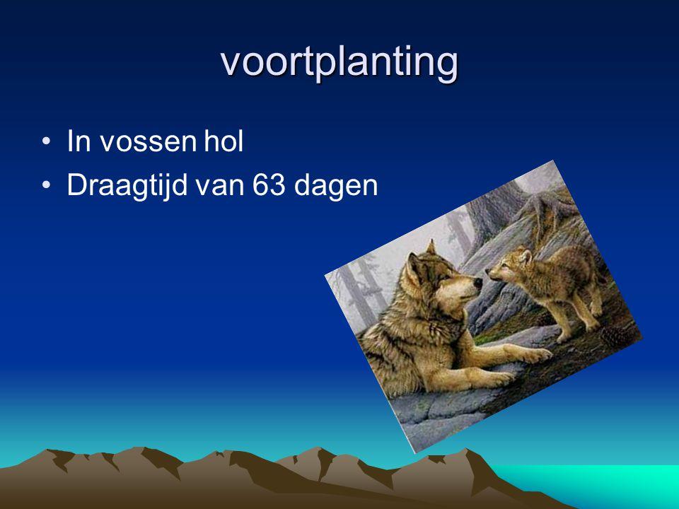 voortplanting In vossen hol Draagtijd van 63 dagen