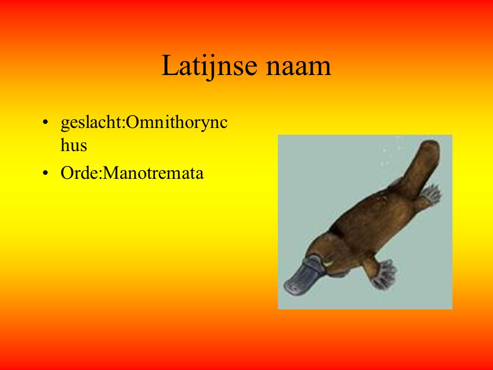 Latijnse naam geslacht:Omnithorynchus Orde:Manotremata