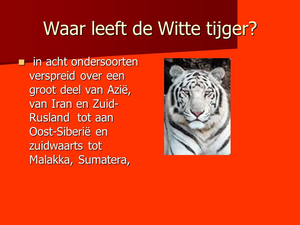 Waar leeft de Witte tijger