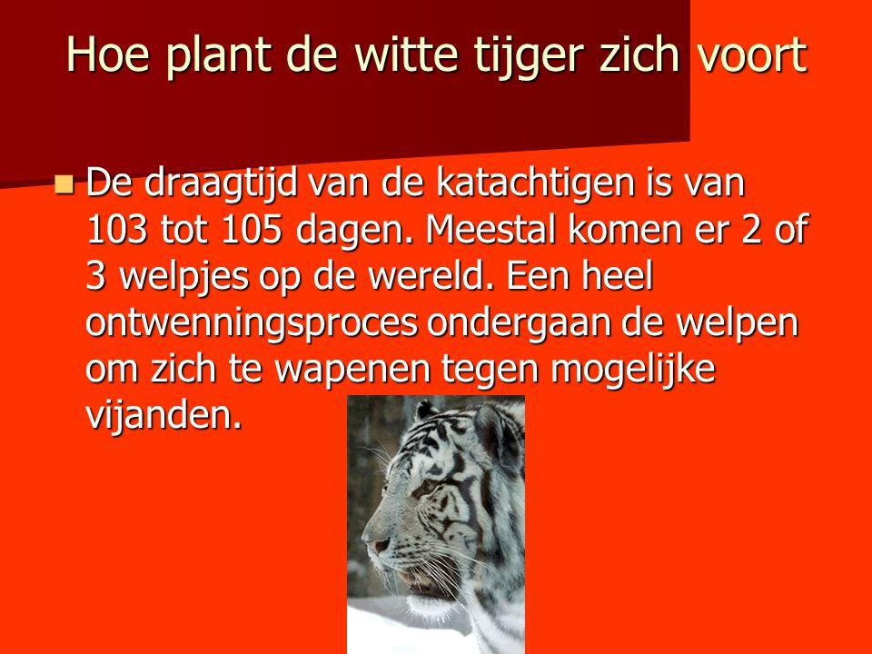 Hoe plant de witte tijger zich voort