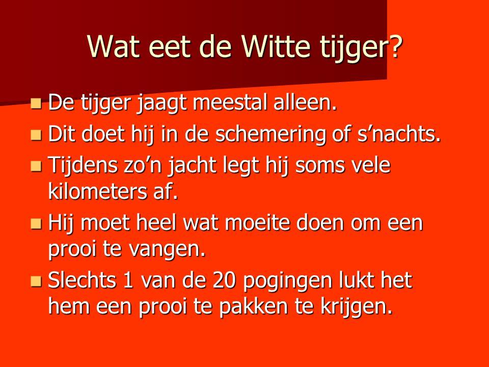 Wat eet de Witte tijger De tijger jaagt meestal alleen.