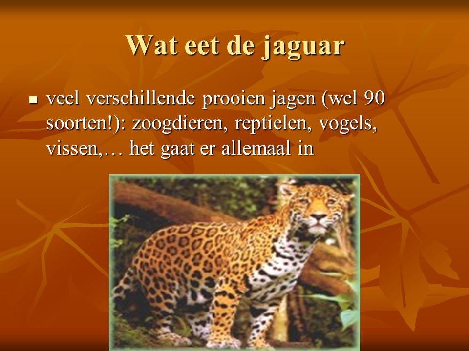 Wat eet de jaguar veel verschillende prooien jagen (wel 90 soorten!): zoogdieren, reptielen, vogels, vissen,… het gaat er allemaal in.