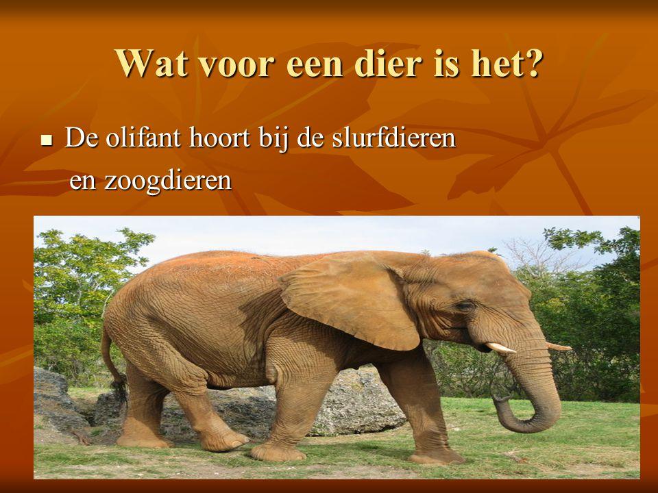 Wat voor een dier is het De olifant hoort bij de slurfdieren