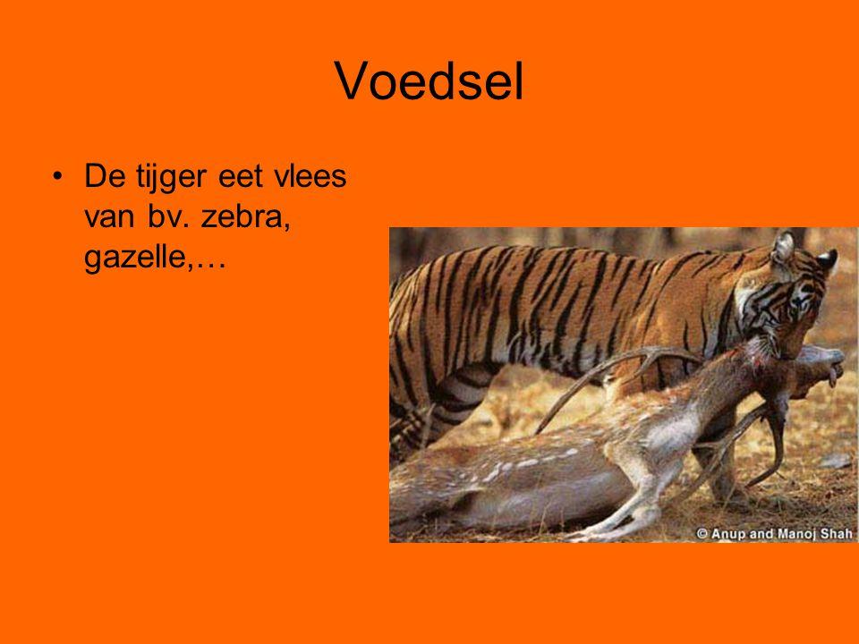 Voedsel De tijger eet vlees van bv. zebra, gazelle,…