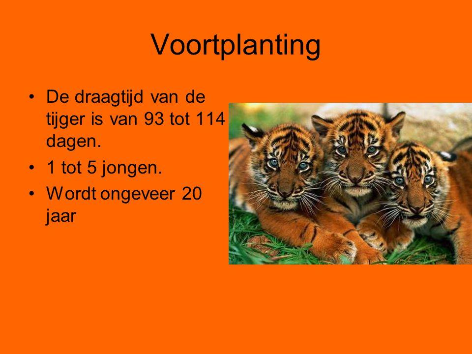 Voortplanting De draagtijd van de tijger is van 93 tot 114 dagen.