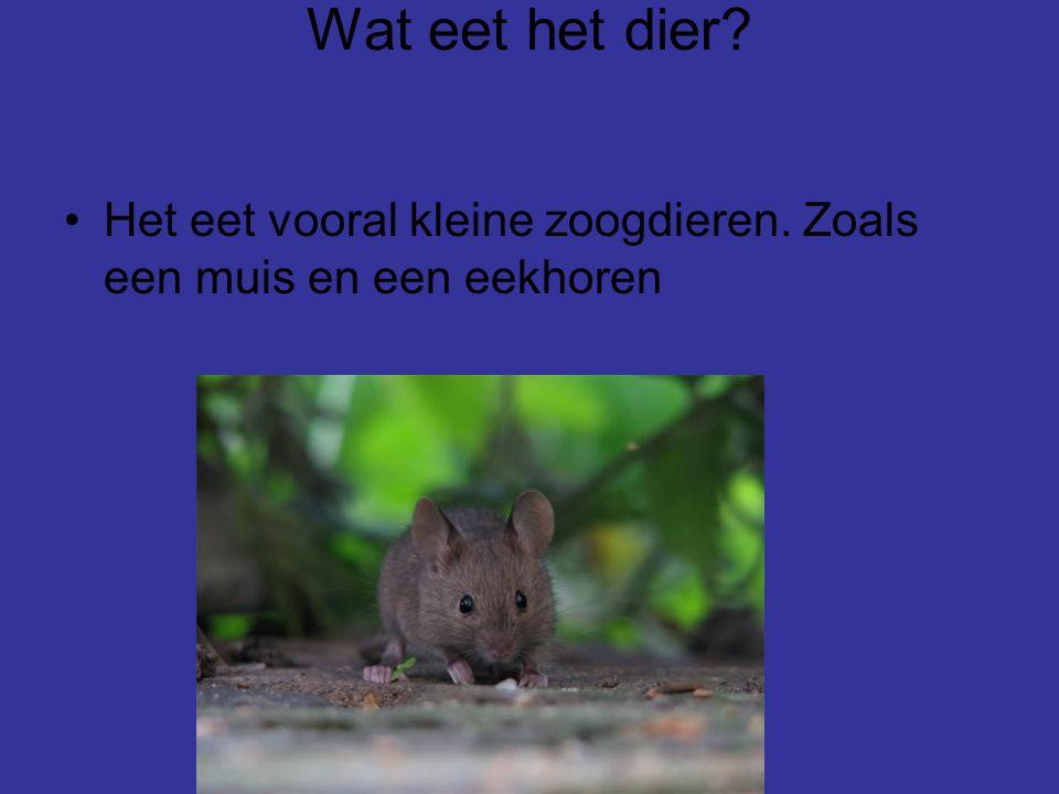 Wat eet het dier Het eet vooral kleine zoogdieren. Zoals een muis en een eekhoren