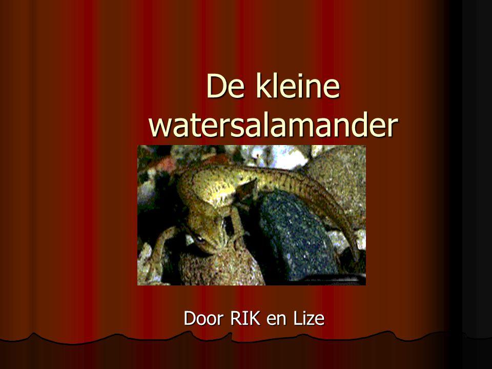 De kleine watersalamander