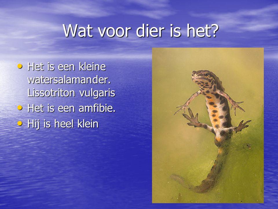 Wat voor dier is het Het is een kleine watersalamander. Lissotriton vulgaris. Het is een amfibie.
