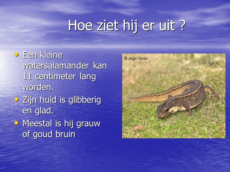 Hoe ziet hij er uit Een kleine watersalamander kan 11 centimeter lang worden. Zijn huid is glibberig en glad.