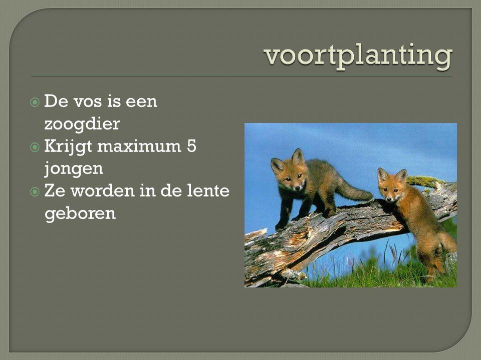voortplanting De vos is een zoogdier Krijgt maximum 5 jongen