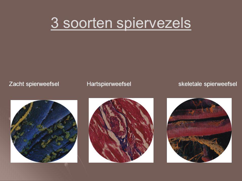 3 soorten spiervezels Zacht spierweefsel Hartspierweefsel skeletale spierweefsel