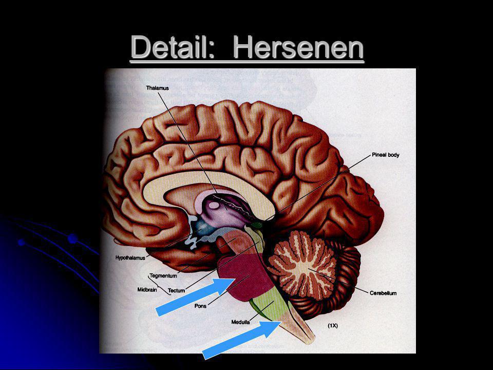 Detail: Hersenen