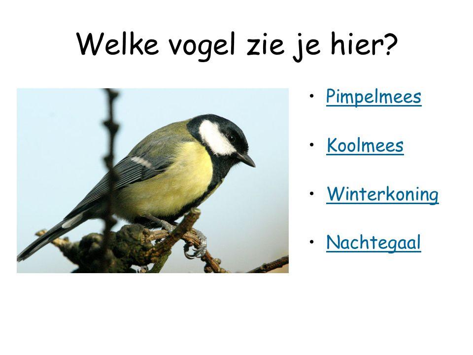 Welke vogel zie je hier Pimpelmees Koolmees Winterkoning Nachtegaal
