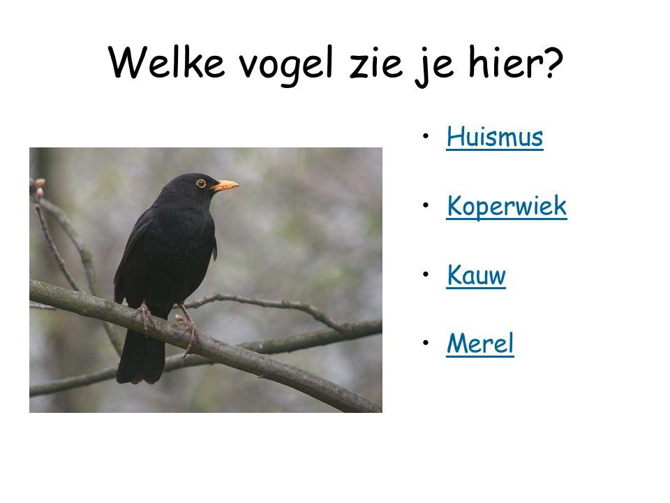 Welke vogel zie je hier Huismus Koperwiek Kauw Merel