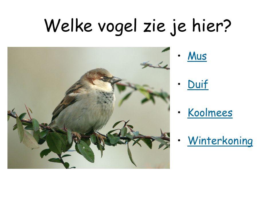 Welke vogel zie je hier Mus Duif Koolmees Winterkoning
