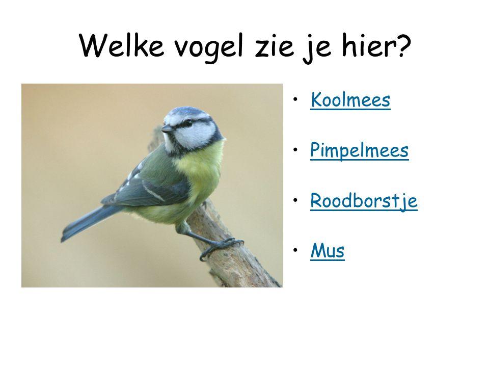 Welke vogel zie je hier Koolmees Pimpelmees Roodborstje Mus