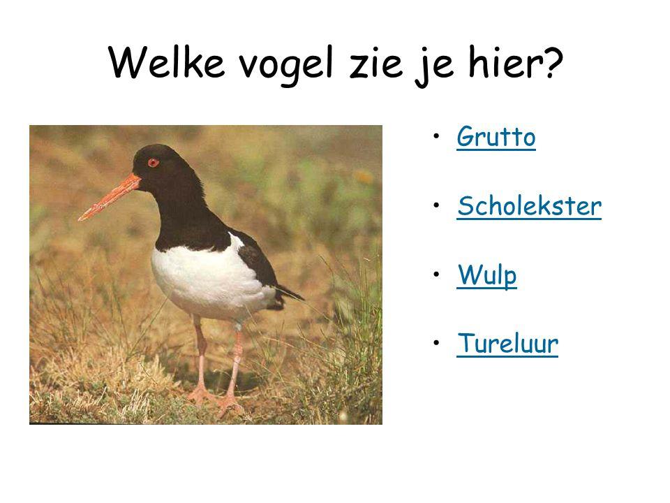 Welke vogel zie je hier Grutto Scholekster Wulp Tureluur