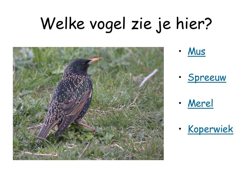 Welke vogel zie je hier Mus Spreeuw Merel Koperwiek