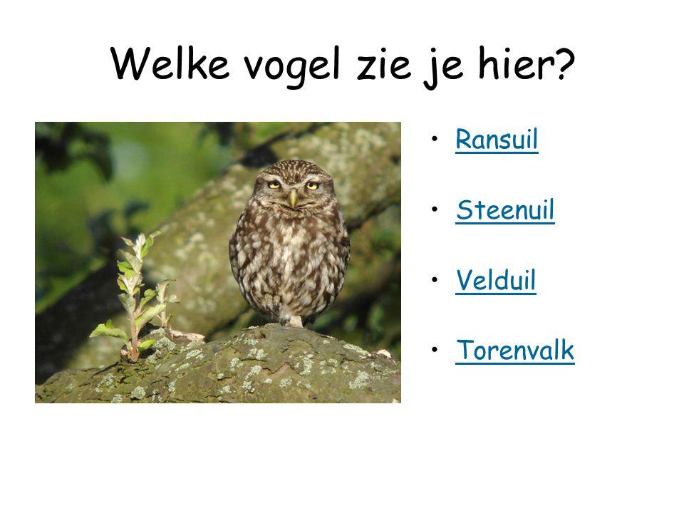 Welke vogel zie je hier Ransuil Steenuil Velduil Torenvalk