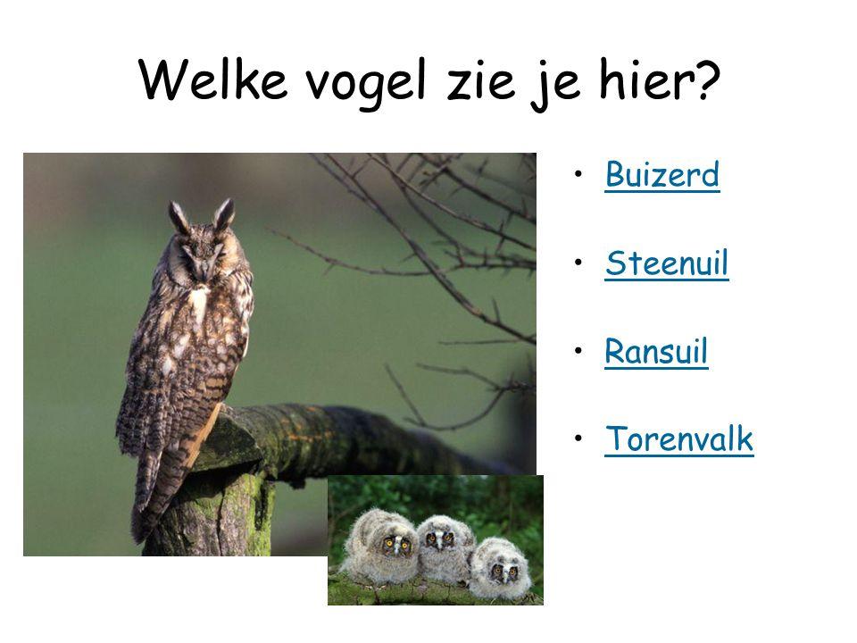 Welke vogel zie je hier Buizerd Steenuil Ransuil Torenvalk