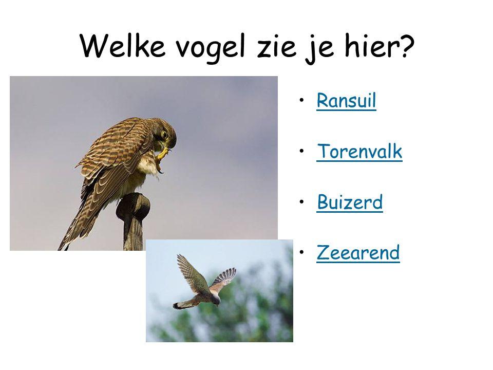 Welke vogel zie je hier Ransuil Torenvalk Buizerd Zeearend