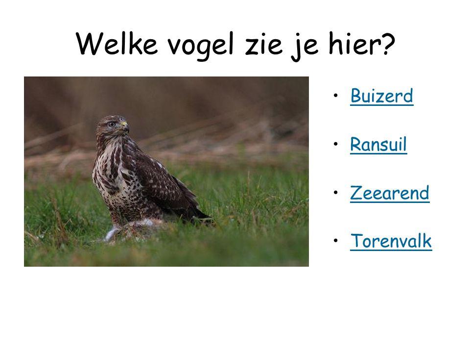 Welke vogel zie je hier Buizerd Ransuil Zeearend Torenvalk