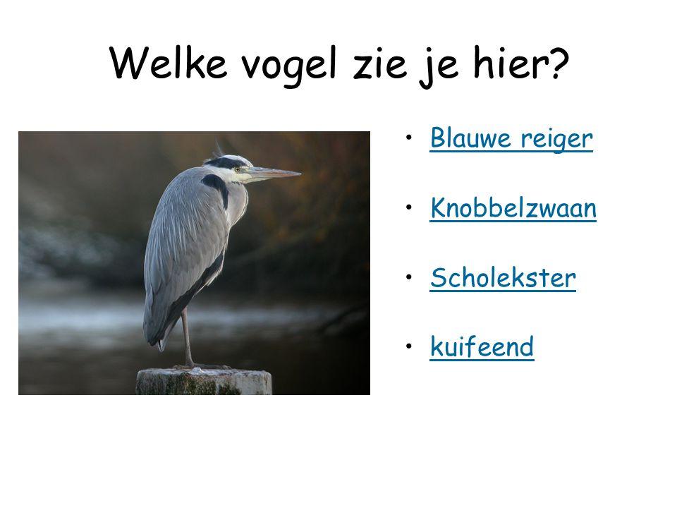 Welke vogel zie je hier Blauwe reiger Knobbelzwaan Scholekster