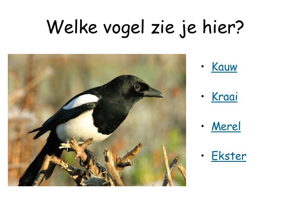 Welke vogel zie je hier Kauw Kraai Merel Ekster