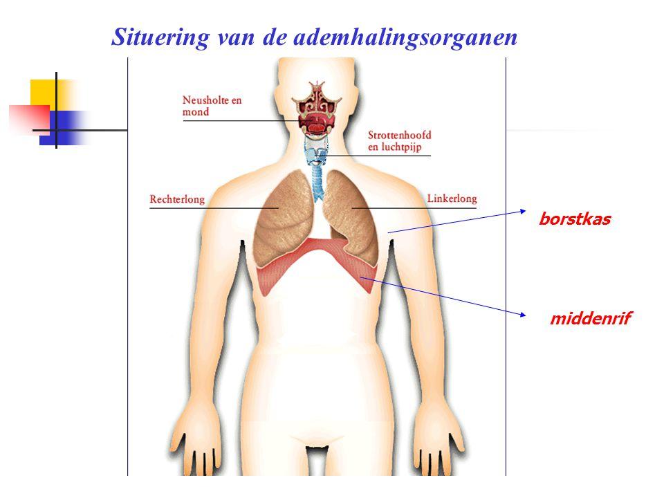 Situering van de ademhalingsorganen