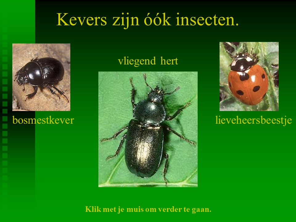 Kevers zijn óók insecten.