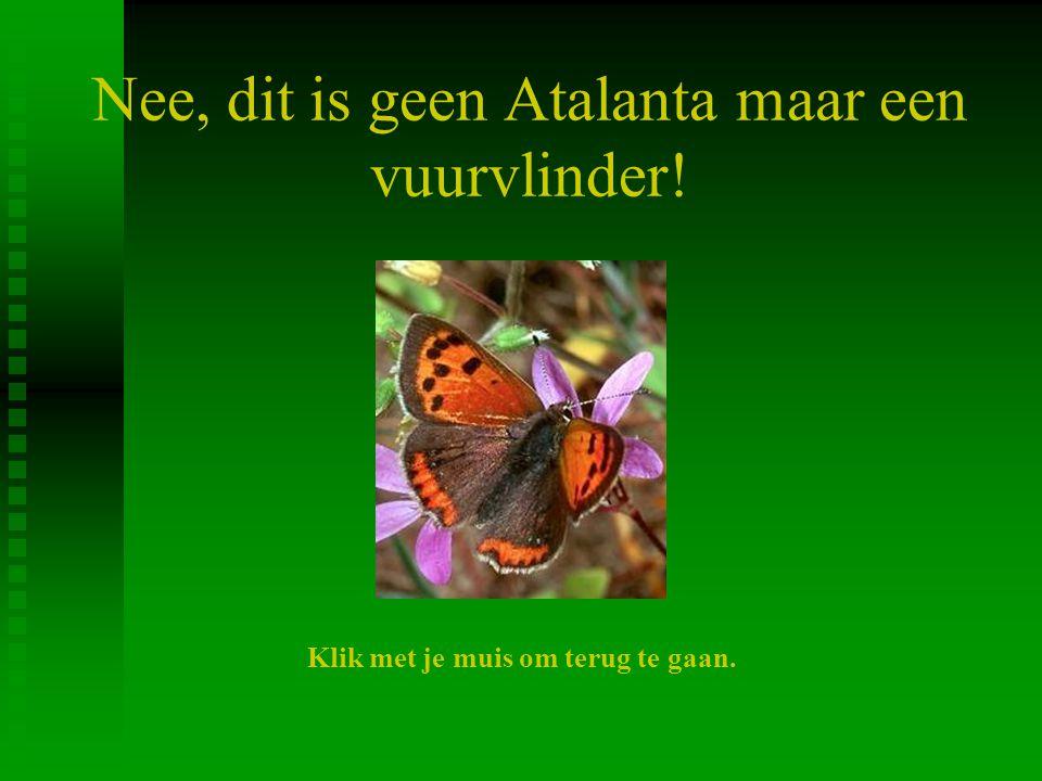 Nee, dit is geen Atalanta maar een vuurvlinder!
