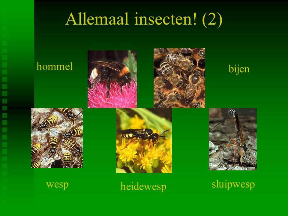 Allemaal insecten! (2) hommel bijen wesp sluipwesp heidewesp