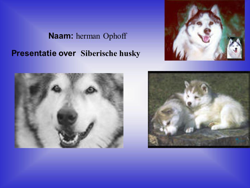 Presentatie over Siberische husky