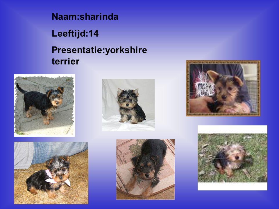 Presentatie:yorkshire terrier