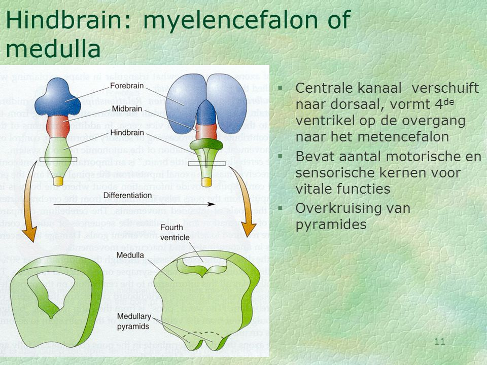 Hindbrain: myelencefalon of medulla