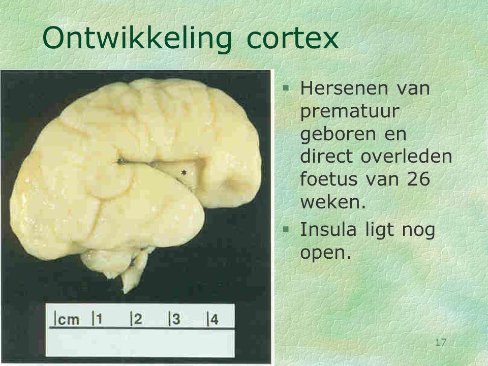 Ontwikkeling cortex Hersenen van prematuur geboren en direct overleden foetus van 26 weken. Insula ligt nog open.