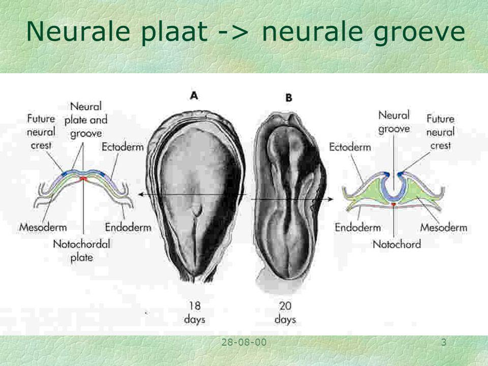 Neurale plaat -> neurale groeve