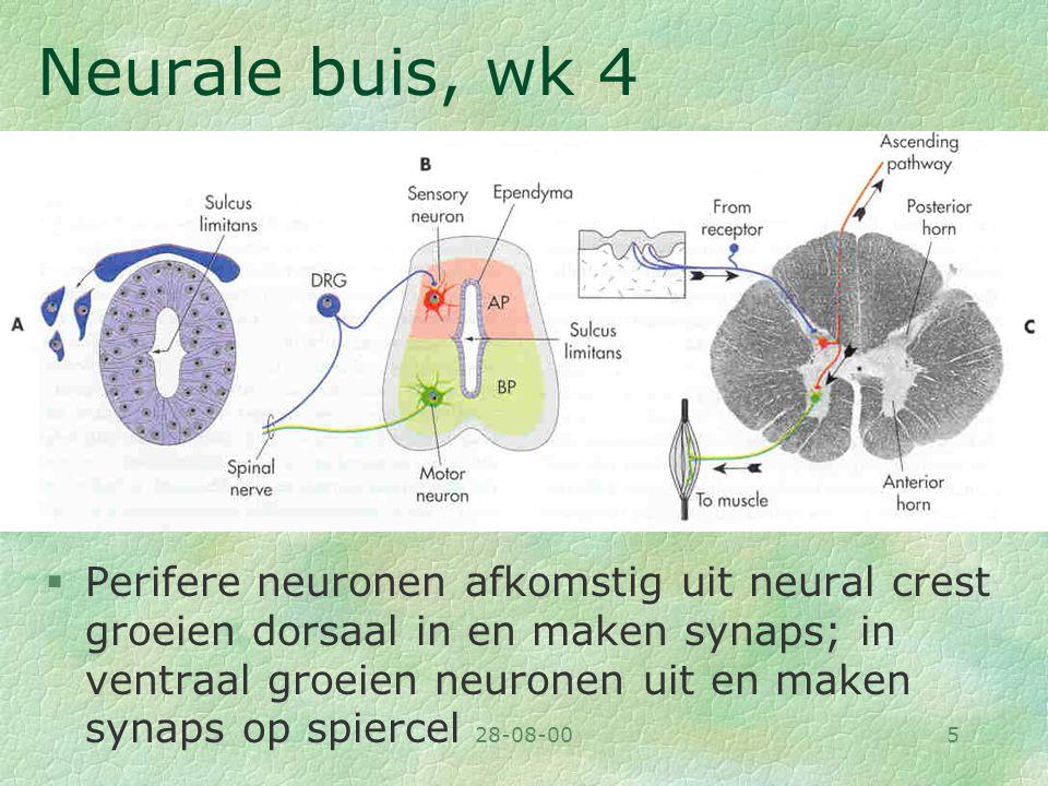 Neurale buis, wk 4